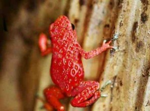 The Strawberry Frog
