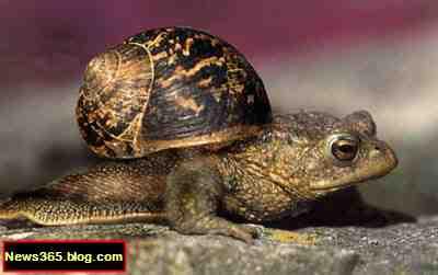 'The Toad Snail' Acroloxolidea Pulmunata
