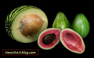 New GMO Pocket sized Watermelons and Huge Avocados