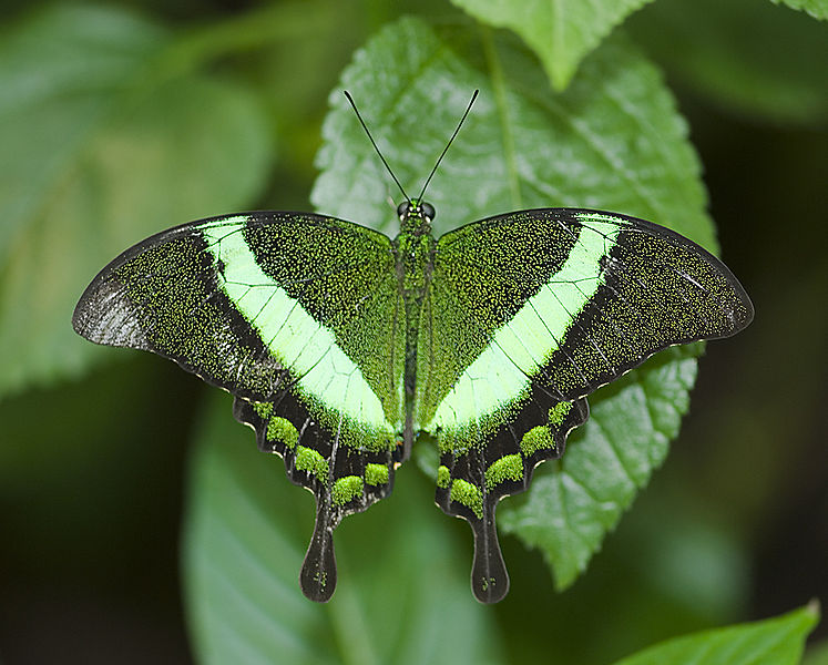 Beautiful Emerald Swallowtail Butterfly