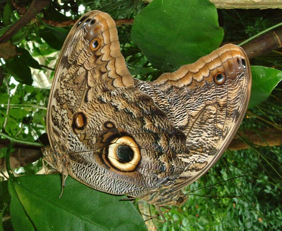 Owl butterfly - photo#15