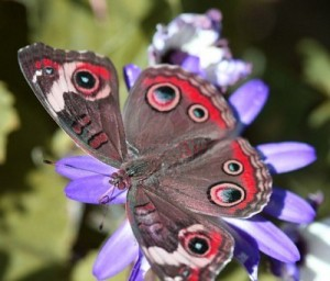 Beautiful Buckeye Butterfly Image