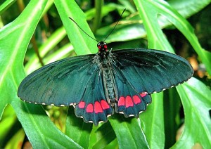 Cattleheart Butterfly Image