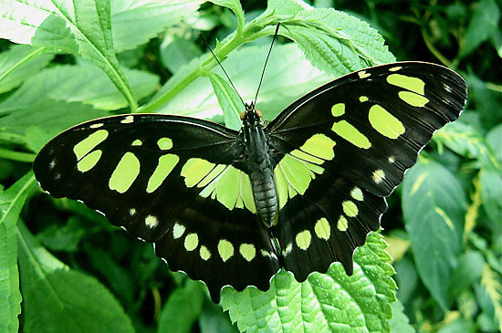 Malachite Butterfly photo