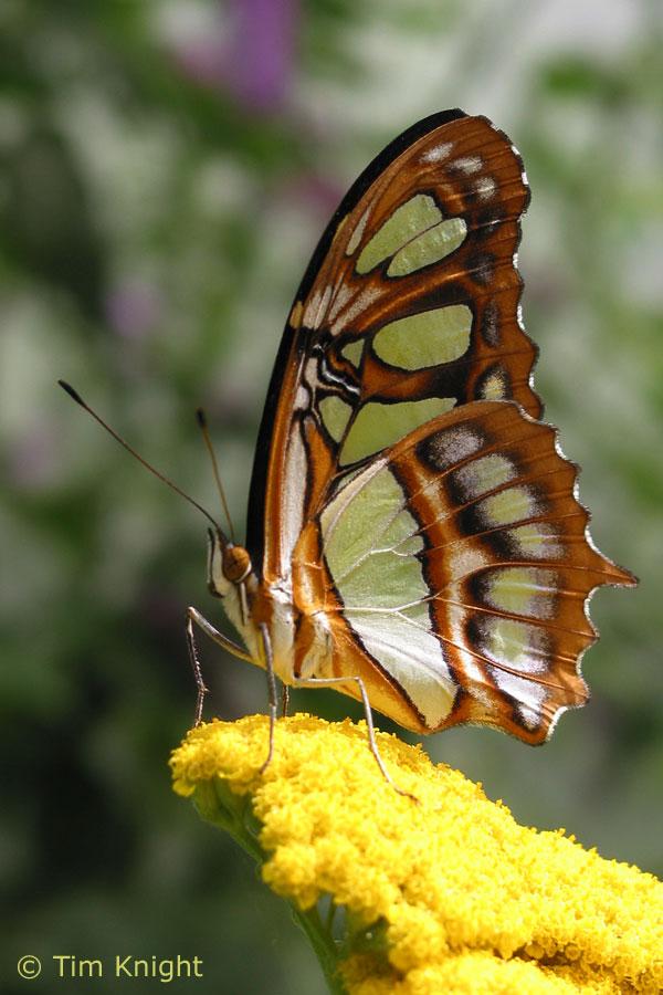 Malachite Butterfly Image