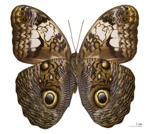 Owl Butterflies Wings