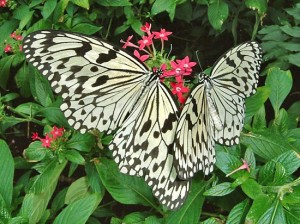 Two Pretty PaperKite Butterflies