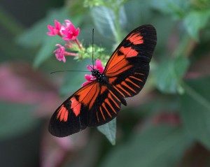 Poisonous Postman Butterfly