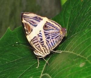 Zebra Mosaic Butterfly Specie